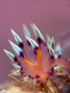 Nudibranch &quot; Flabellina Exoptata&quot; by Iyad Suleyman 